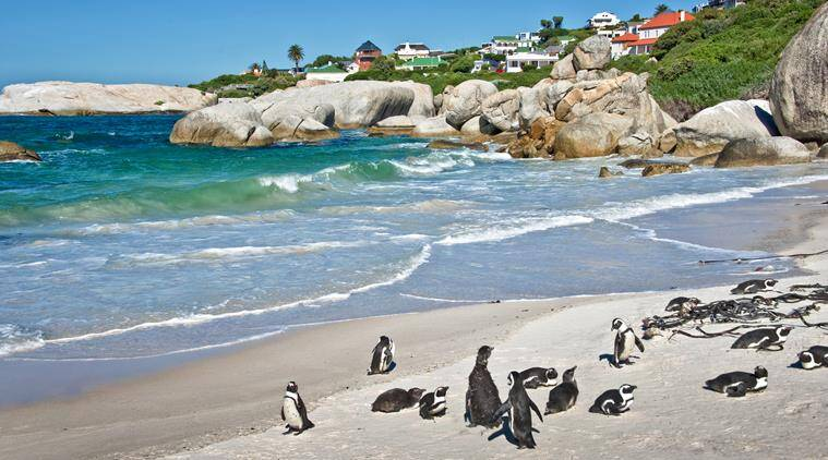African penguins, Boulders national Park, South Africa, travel destinations, places to travel for kids, Indian express, Indian express news