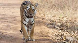 How are countries doing when it comes to tiger conservation and what is the plan ahead?