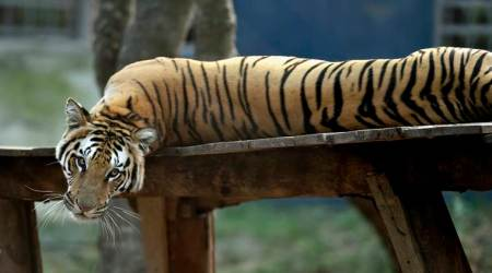 Gujarat to conduct census to ascertain presence oftigers