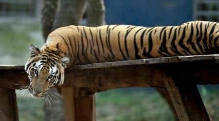 Tiger census hits roadblock as Maharashtra forest guards demand payhike
