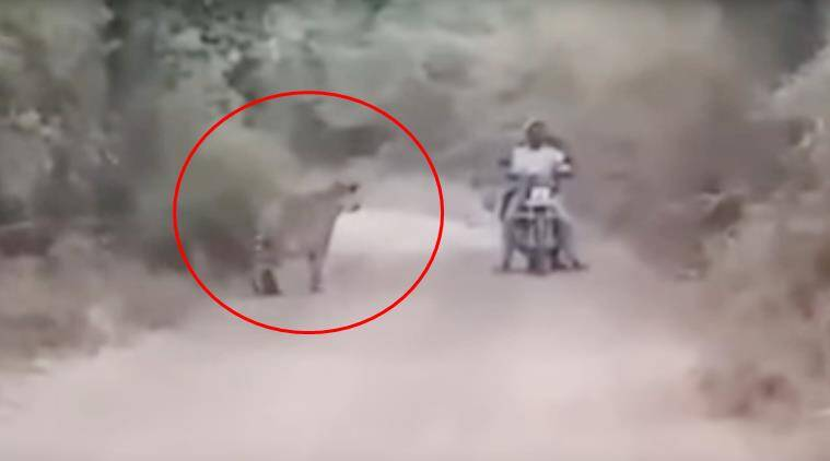 tiger escape video, animal video, man escapes tiger, nagpur man escapes tiger, tiger man video, viral videos, indian express, Indian express news