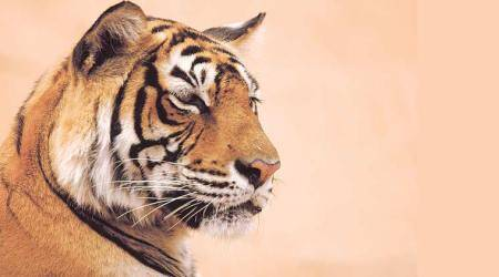 What's hobbling the global effort to save the tiger?