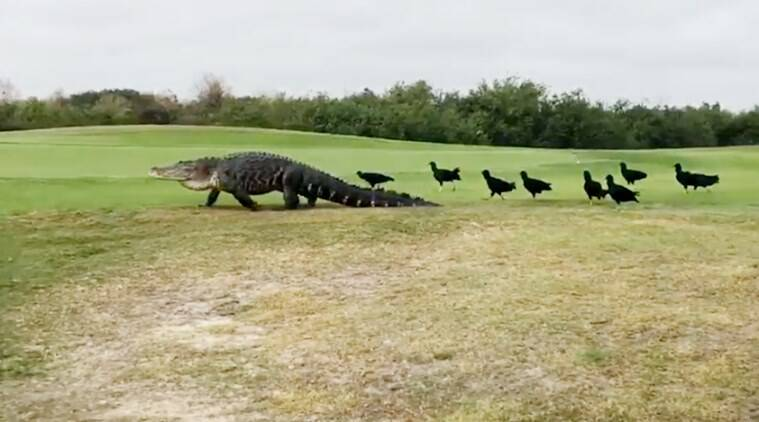 alligator strolling in the park, alligator in the park, alligator video, alligator viral video, alligator in park video,