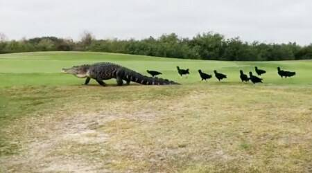 VIDEO: Ever seen an alligator taking a walk in a park? Here's your chance!