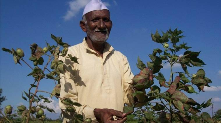 Indian cotton farmers, cotton farmers, cotton crop, cotton farming, Narendra Modi Govt, high-density planting cotton, Agriculture sector, MSP, Bt Cotton