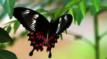 butterfly species, 115 species of butterflies, Yamuna Biodiversity Park, Aravali Biodiversity Park, Kamala Nehru Ridge, Asola Bhatti Wildlife Sanctuary, Delhi news