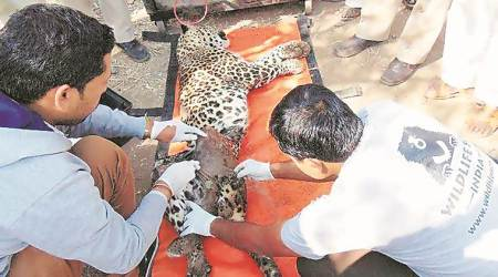 Leopard cubs charred to death: Do something, or will file cases if another fire occurs, forest dept tells MSEDCL