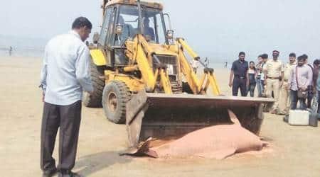 Humpback dolphin carcass washes ashore atJuhu