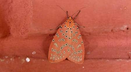 butterflies, catterpillar, jungle, wild, animals, birds, nature, travel, forest, indian express, indian express news