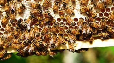honey, beekeepers, khadi and village industry, narendra modi, maharashtra, pune news, giriraj singh, MSME, KVIC, CBRTI