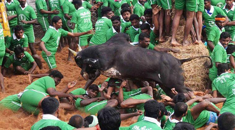 Is Jallikattu cultural right: Constitution bench to decide
