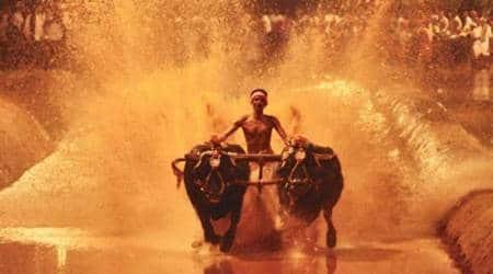 Karnataka Kambala buffalo race, Kambala buffalo race, Kambala, Karnataka buffalo race, Supreme Court, SC, India News, Indian Express, Indian Express News