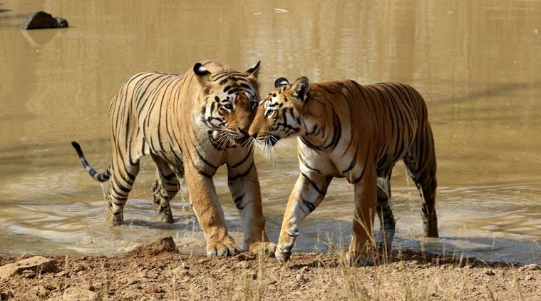 Two tigers to be relocated to Madhya Pradesh
