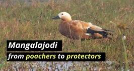 From Bird Hunters To Protectors: Mangalajodi's Success Story