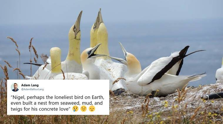 New Zealand gannet 'no mates Nigel' dies alongside pretend accomplice
