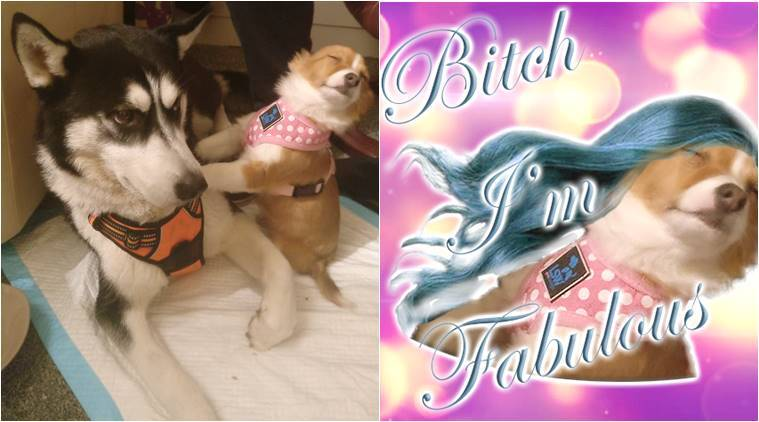 Meme Funny Husky Dogs : This dramatic puppy meets his husky buddy and their union soon
