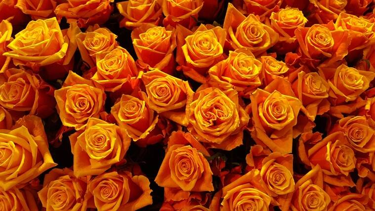 rose day, happy rose day, rose colour meaning