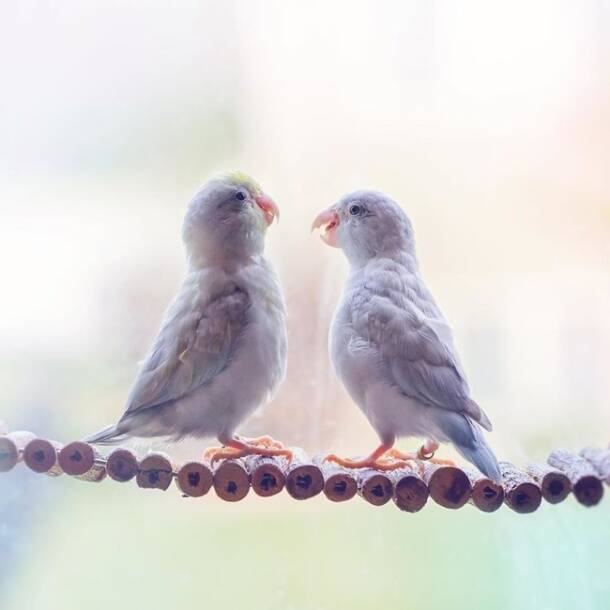 Rupa Sutton, Rupa Sutton Instagram, Rupa Sutton pastel Parrotlet birds, pastel Parrotlet birds, pastel birds, cute parrots, bird photography, indian express