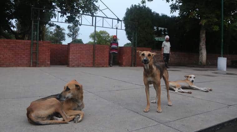 stray dogs menace