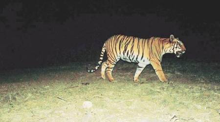 Tigers in India, Madhupur forest, West Bengal tigers, Tiger spotted in Lalgarh, Indian Express