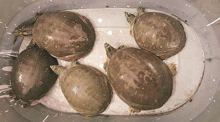 Turtles, Delhi man arrested for buying turtles, Indian softshell turtles, Chanyakpuri man arrested, Delhi news, indian express news