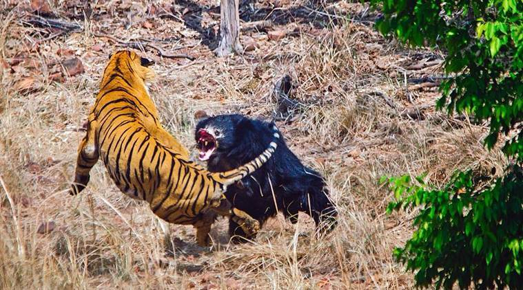 Thrilling footage shows bear engaged in fierce showdown with a tiger