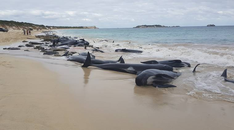 Australian rescuers race to save whales after mass stranding