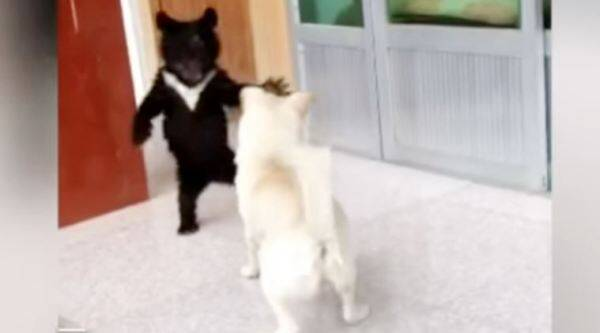 dog bear cub, puppy is a bear cub, bear cub confused as puppy, pup cub story, viral video, indian express, indian express news