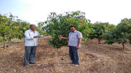 Sweet tidings:Kesar mangoes get a new lease of life, thanks to Israelitechnology