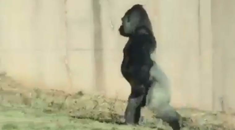 viral video, gorilla, gorilla walking on two feet, gorilla walking a human being, gorilla funny video, indian express, indian express news