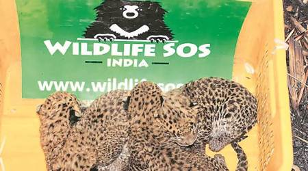 Four leopard cubs lost in sugarcane field rescued, reunited with mother