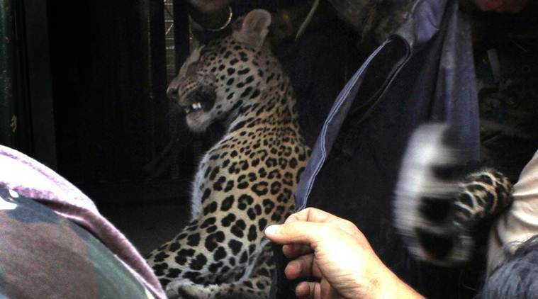 Panic in Ulhasnagar: Leopard enters bungalow, rescued