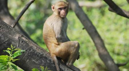 Uttar Pradesh: Over 100 monkeys die in Amroha village