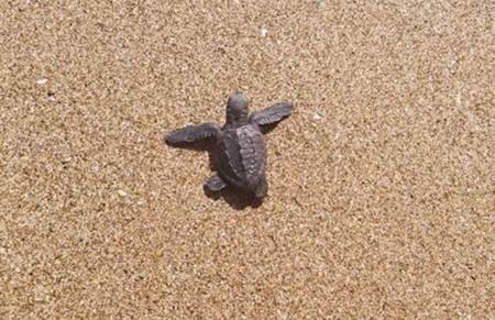 Odisha: No visitors, no cell phones near hatching site of Olive Ridley turtles