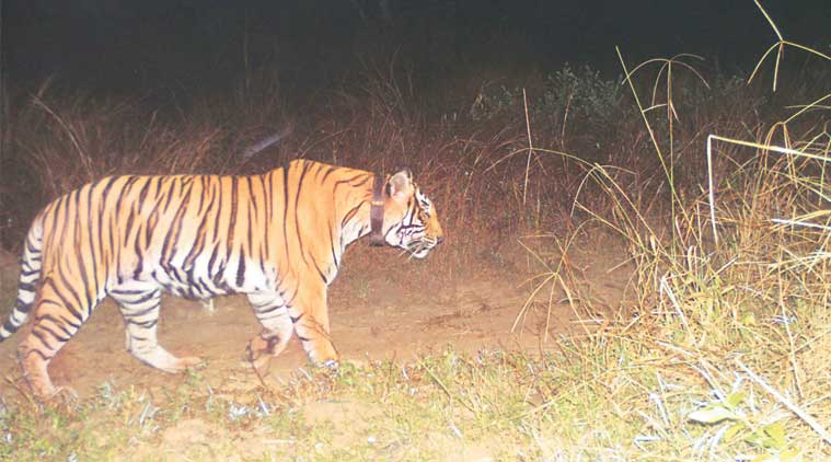 Sariska Tiger Reserve, tiger death, India tiger population, Rajasthan tigers death, Rajasthan two tigers death, Ranthambore National Park, Rajasthan forest, india news, indian express news
