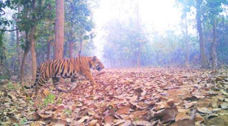 After 107 years, a rare tiger in Junglemahal, an army of officers on itstrail