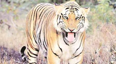 Maharashtra: Tiger count set to rise in Melghat, 22 spotted