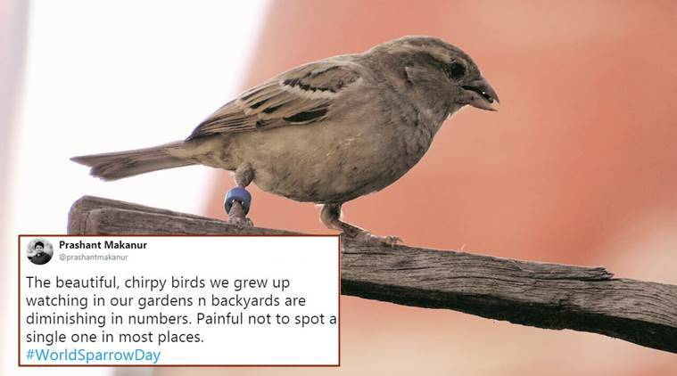 World Sparrow Day, sparrow, nests, world sparrow day theme, world sparrow day date, world sparrow day tweets, indian express news,