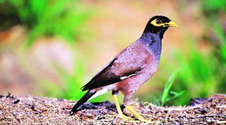 Paper clip: Parasite that killed UK birds seen in mynas in Pakistan