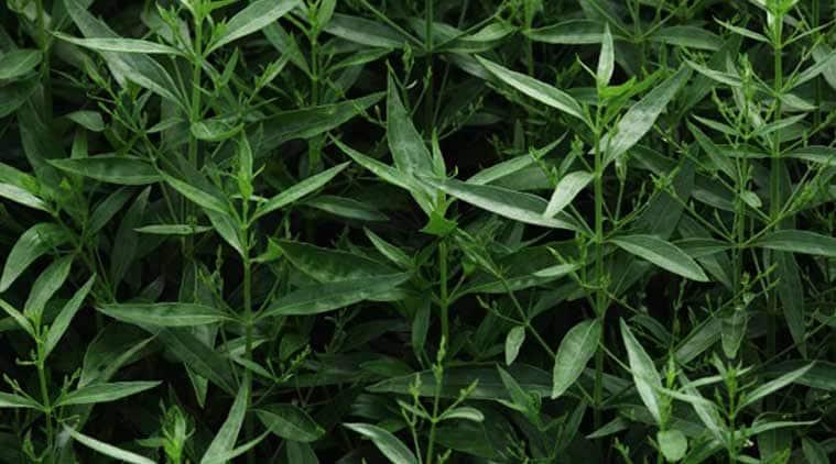 Chirata, Chirata herb, pimples, Chirata benefits, Ayurveda, Unani, health news, indian express