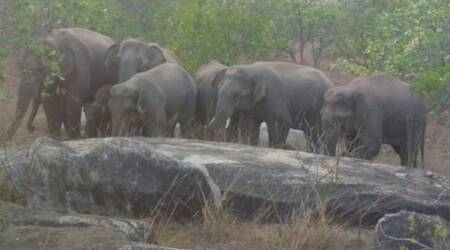 Grass is greener on the other side! Forest officials having a tough time as eight wild elephants stray into Andhra-Odisha border