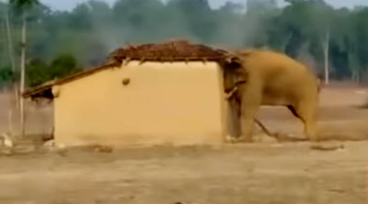 elephant destroy house in Chhattisgarh, Surajpur house destroyed by elephant, elephant house destroy video, elephant destroys house video, viral video of elephant, indian express, indian express news