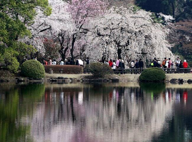 cherry blossoms, full bloom cherry blossoms, tokyo cherry blossoms, japan cherry blossoms, washington cherry blossom, national Cherry Blossom Festival, flower festival, cherry blossoms photos, japan cherry blossoms images, US Cherry blossoms photos, indian express, travel news