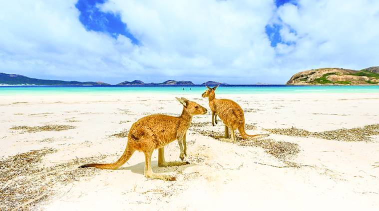 Kangaroo Island, Kangaroo Island in Australia, wildlife paradise in Australia, types of Kangaroo, Kangaroo population, travel news, indian express, indian express news