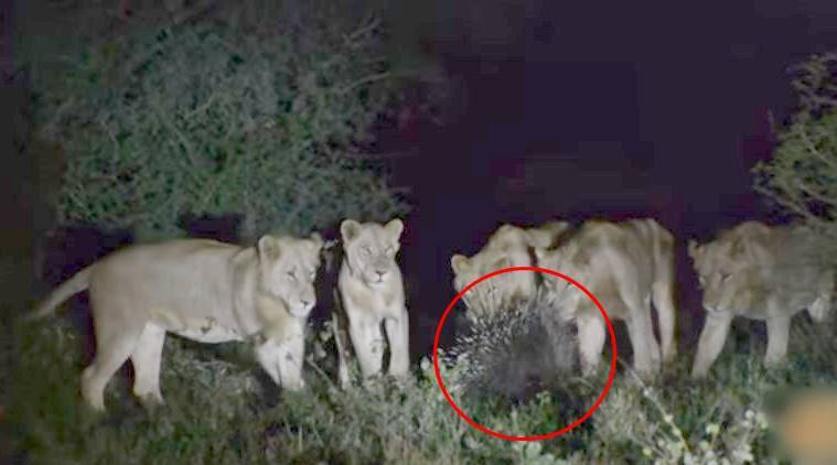 7 lion fight with a porcupine, lion fighting with another animal, lion forest video, viral forest video, wildlife photography, wildlife videography, social media viral video, indian express