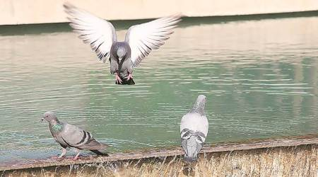 Consider oral contraceptives to check pigeon population: Delhi HC
