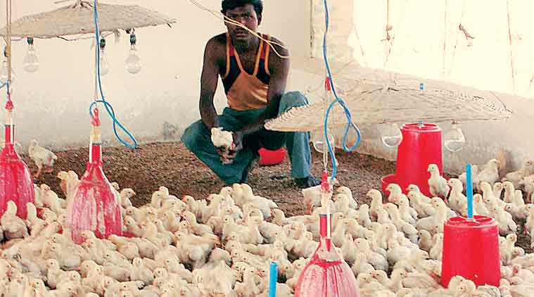 farmers, Poultry farming, egg prices, egg prices falling, chicken price, poultry business, indian express