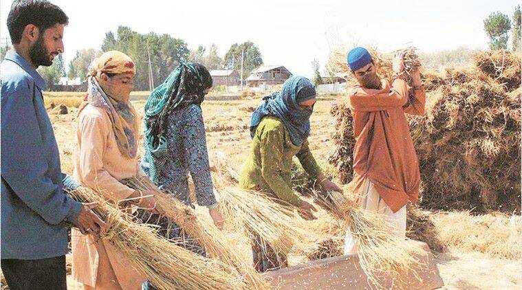 Srinagar paddy cultivation