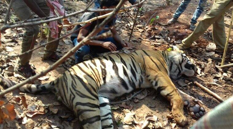 The carcass of the adult tiger was recovered from the Lalgarh forest, West Bengal's Chief Wildlife Warden Ravi Kant Sinha said. (Express photo)