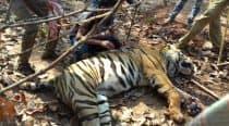 Tigress found dead in UP's Sohagi Barwa WildlifeSanctuary